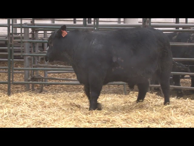 Schiefelbein Angus Farms Lot 319