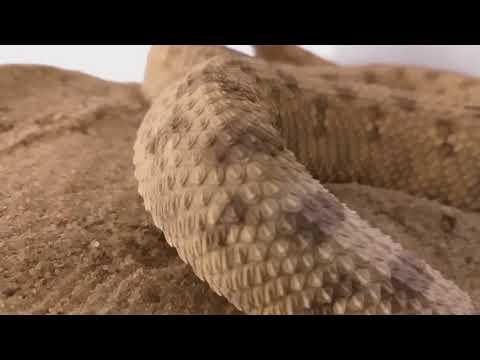 Вопрос: Что такое рогатая змея Или, вернее, кто это?