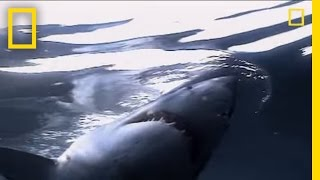 Great White Sharks   National Geographic