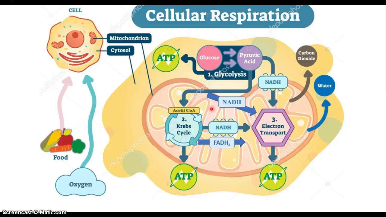 BQ Metabolismo oxidativo de la glucosa 3a Parte - YouTube