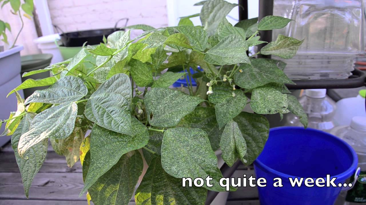 Growing bush beans in containers - Growing Bush Beans In Containers Part 2 Little Beans And Spider Mites Youtube