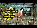 Suara Panggilan Burung Cendet Ampuh Untuk Memancing Burung Cendet Bakalan Atau Pentet Malas Bunyi  Mp3 - Mp4 Download
