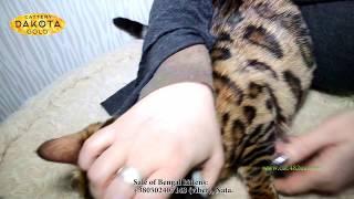 Dakota Gold, питомник бенгалов, Как стричь когти у бенгальского кота
