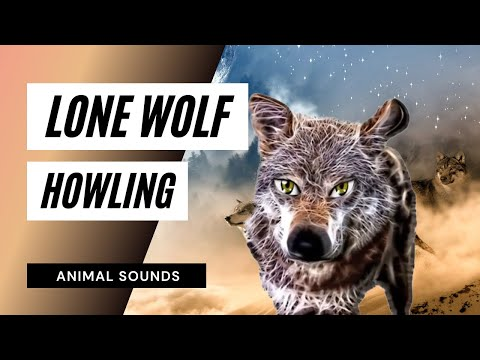 Lone Wolf Howling - Sound Effect - Animation