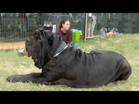 Самые тяжелые и массивные собаки в мире! Псы-Тяжеловесы