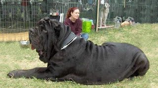 Самые тяжелые и массивные собаки в мире! ПСЫ-ТЯЖЕЛОВЕСЫ!