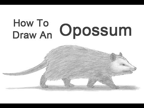 How To Draw An Opossum Youtube