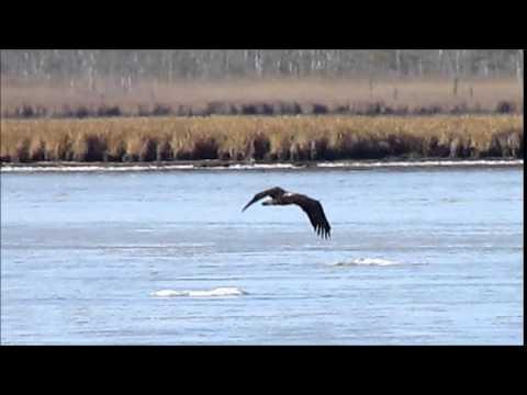 Juvenile eagle in flight  Blackwater Wildlife Refuge