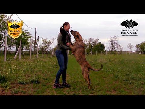 Novice Trick Dog  Kisses  with Cimarron Uruguayo from Cerberus Illusion kennel