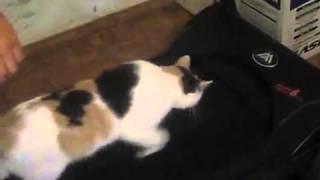 Тренажер, забавное видео кошка занимается спортом