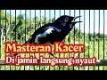 Suara Kacer Untuk Masteran Di Jamin Langsung Nyaut  Mp3 - Mp4 Download