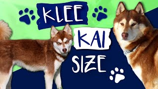 Alaskan Klee Kai Size: What Size Are Klee Kai AKK?