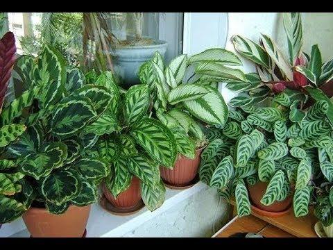 Декоротивно-лиственные растения **Калатея**