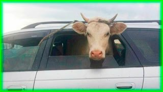 Thieves Steal Cow into Car on Street