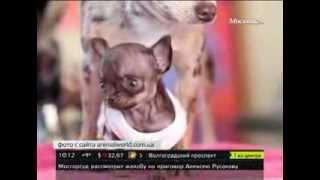 Самая маленькая в мире собака