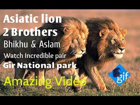 Asiatic lion Brothers Incredible pair (Bhikhu & Aslam) in Devaliya forest near Gir natioanal park