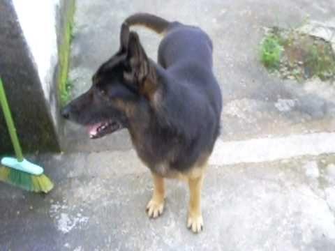 Well-known Paulinho e seu cachorro jack.(PASTOR ALEMÃO,CAPA PRETA). - YouTube ST98