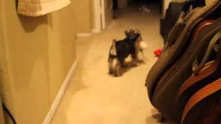 Pepper The Puppy Miniature Schnauzer