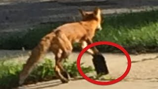 This Poor Fox Got His Paw Caught In A Rat Trap, And Local People Couldn't Bear To See Him In Pain