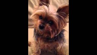 Teacup Yorkie listens to her favorite song by James Blunt