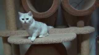Британский котик Изюм,окрас серебристая шиншилла