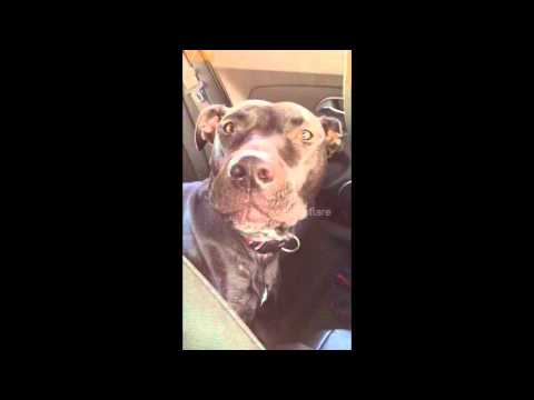 Dog sings 'Hello' by Adele Part 2
