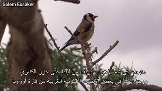 طائر الحسون Goldfinch صنف بارفا الفيديو كامل HD مع بعض المعلومات. مشاهدة طيبة