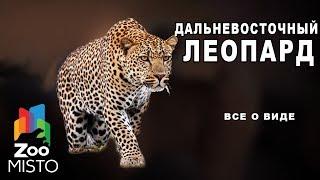 Дальневосточный леопард - Все о виде млекопитающего  | Семейство кошачьих  дальневосточный леопард