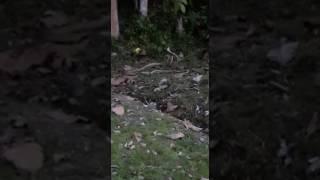 Ular mengawan kolam air panas kuala kubu bharu