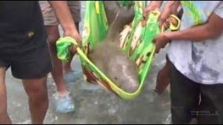Terdampar di Pesisir Pantai, Anak Ikan Duyung Diselamatkan Warga