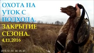 Охота на утку. Закрытие сезона. Duck Hunting. 04,11,2016