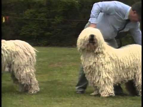 Komondor  AKC Dog Breed Series