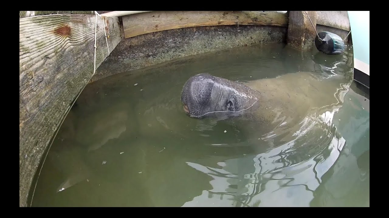 Cute manatee swimming around the docks at bud n 39 mary 39 s for Bud and mary s fishing report