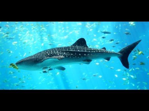 Les Requins Baleines des Galapagos documentaire complet en français 2014 | Documentaire
