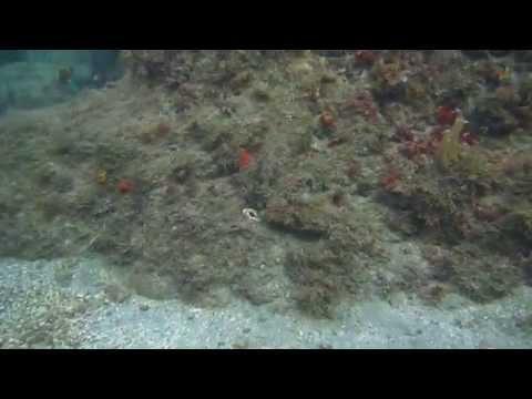Amazing octopus camoflage