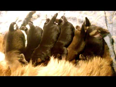 6 Norwich Terrier puppies Alta Carya FCI 2017
