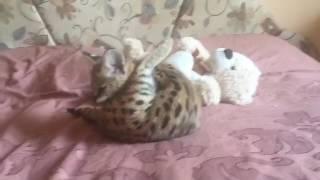 serval kitty