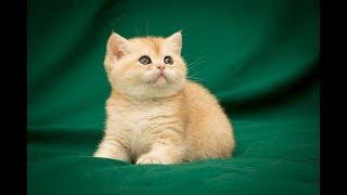 Кошка Helga Moon Blues SunRay Британский котенок черного золотого затушеванного окраса BRI ny 11