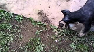 Жаба и Буля (собака цвергшнауцер)