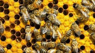 видео Пчеловодство как бизнес: с чего начать разведение пчел в домашних условиях