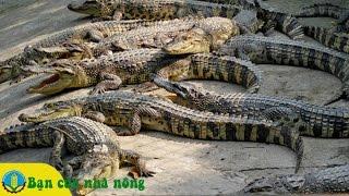 Kiến Thức Cơ Bản Nuôi Cá Sấu theo Mô Hình Trang Trại Hộ Gia Đình