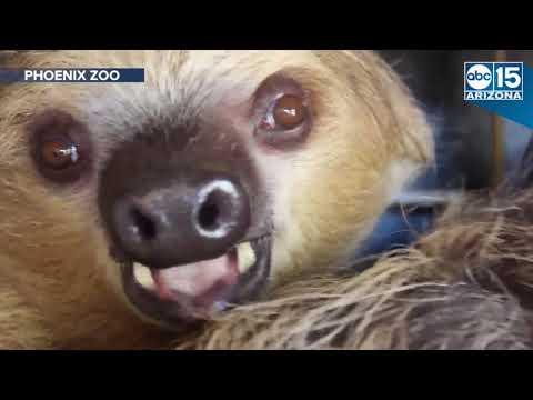Meet Fernando: Phoenix Zoo's first sloth - ABC15 Digital