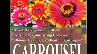Carrousel Zinnia Flower Seeds - Whirligig Flower Seeds On  Www.myseeds.co
