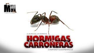 HORMIGAS CARROÑERAS |  Camponotus Barbaricus