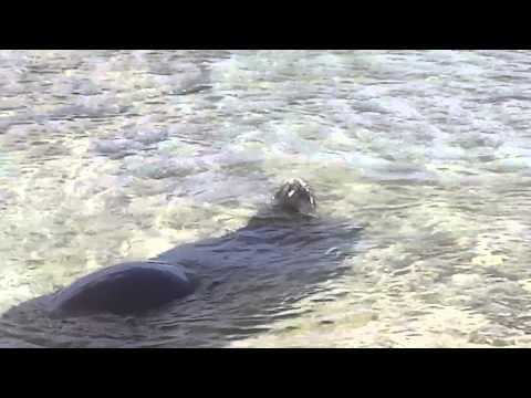 Monk Seal Vocalization Juvenile Male