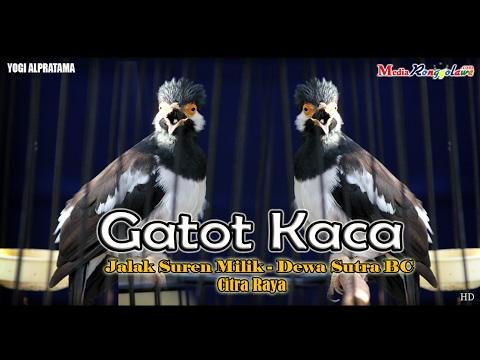 SUARA BURUNG : Aksi Gatot Kaca Jalak Suren Juara Nasional Di Terpa Angin Raih Juara Double Winner