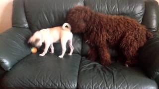 Pug Puppy And Spanish Water Dog Puppy Playing On The Sofa
