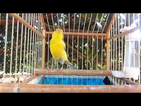 CANARIO CANTANDO Travel Video