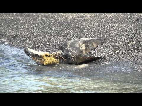 Green sea turtle (Honu) at Kaloko-Honokohau National Historical Park
