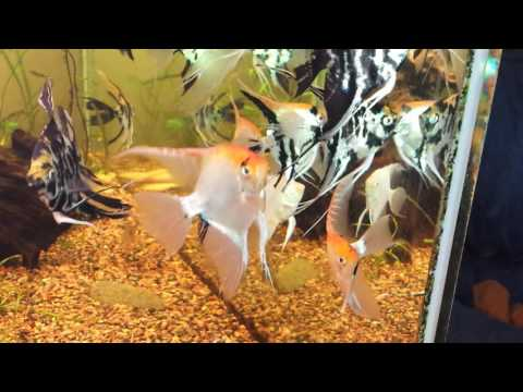 Gold Marble, Gold Marble Ghosts And Other Marble Angelfish